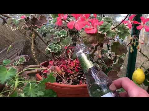 Automatvattnare för krukväxter när du reser på semester