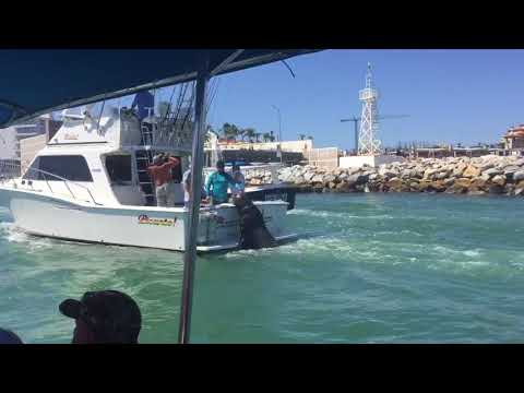 Idiots from Newport Beach endangering a large Sea Lion in Cabo