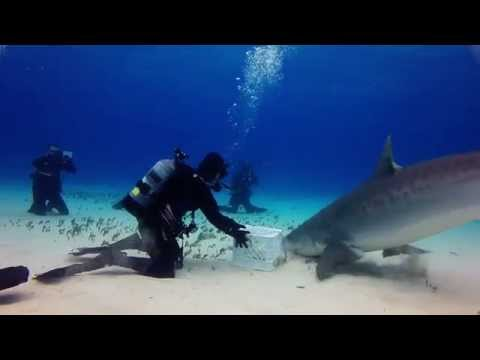 Epic Diving Tiger Sharks Expedition 6-7 Oct. 2014