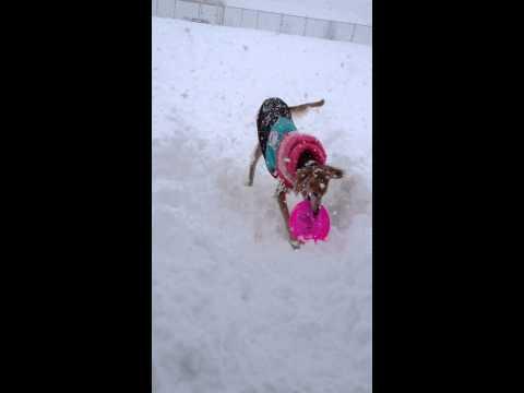 雪の中で遊ぶサルーキー