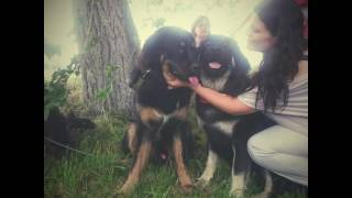 Бурят Монгольской волкодав - собаки побеждаки