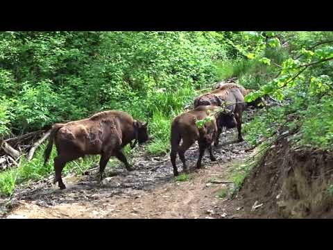 Return of the bison 2018 in the South Western Carpathians