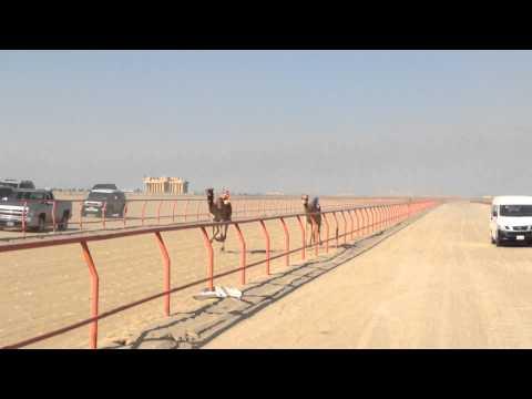 Kuwait: camel racing (January 2015)