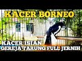 Kacer Isian Gereja Tarung Full Jernih  Mp3 - Mp4 Download