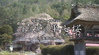 福島の一本桜より ~会津田島 南泉寺の平七桜~