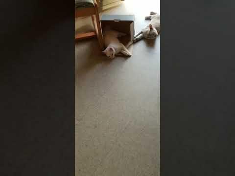 Japanese bobtail kittens vs Terrior mix
