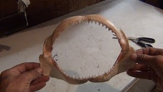 How To Clean a Shark Jaw