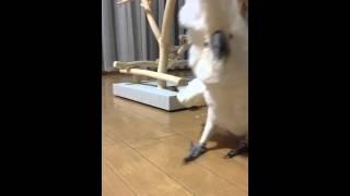 Какаду с такими воплями бегает, угарное видео