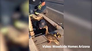 Cute Alert: Watch Firefighters Rescue Ducklings as the Mama Duck Watches