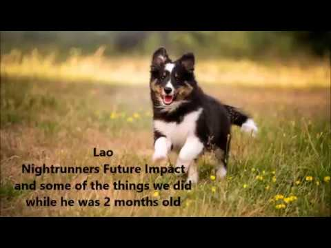 Sheltie puppy Lao 2 months old: shaping tricks, socializing and having fun