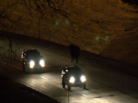 Cows Cause Crashes on Nebraska Highway