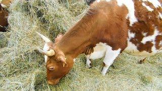 Привезли НОВУЮ КОРОВУ! НЕТЕЛЬ АЙРШИРКА ВЕСНА!Хочу ЕЩЕ купить коров или нетелей айрширской породы!