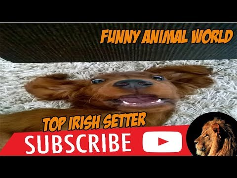 Top #1 Funniest Irish Setter Videos