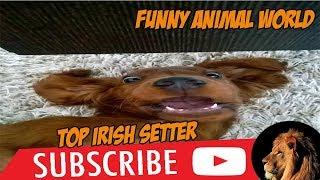 Top #1 Funniest Irish Setter Videos