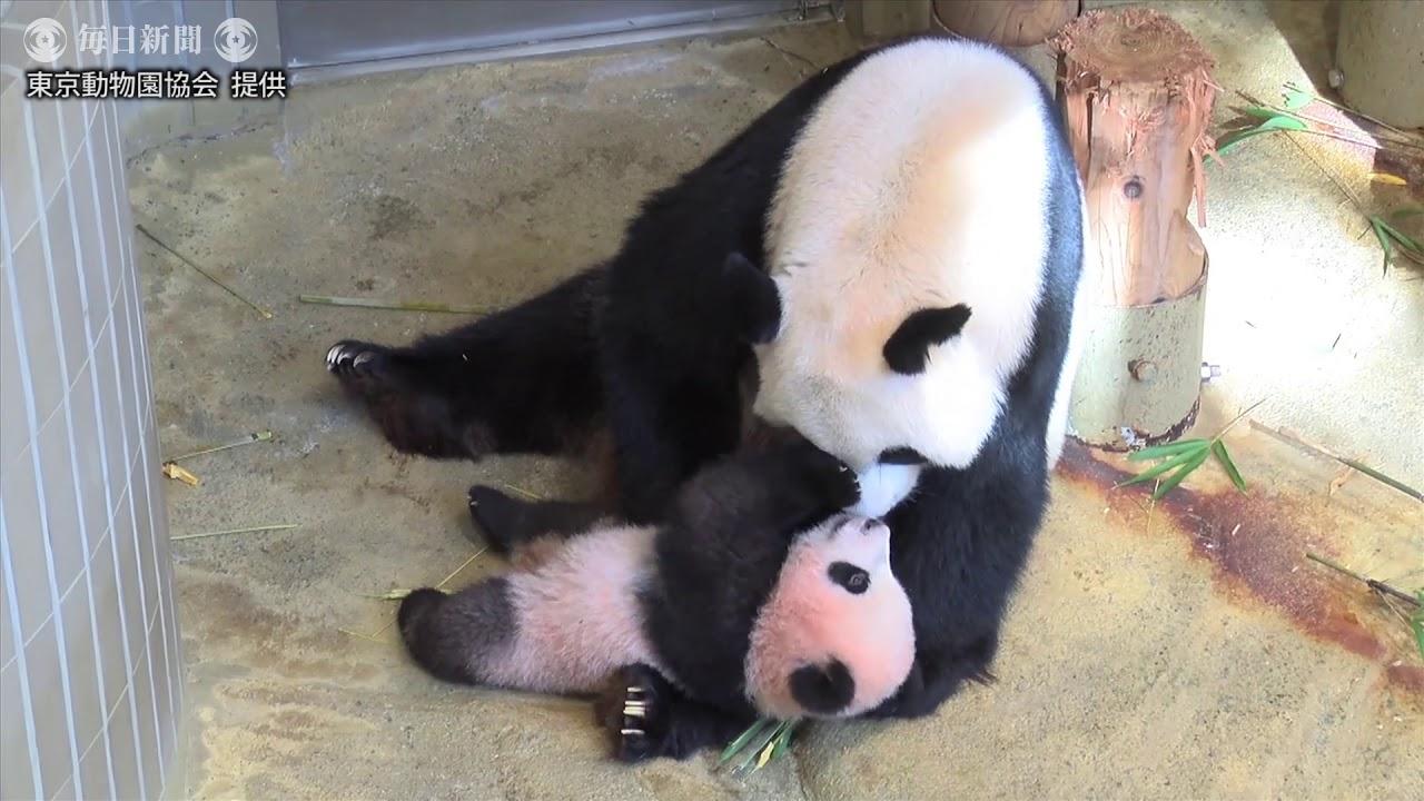 上野パンダ:シャンシャン生後150日の映像を公開(提供映像)