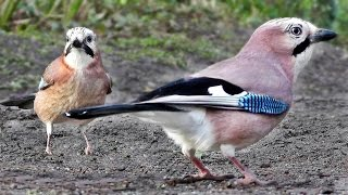 The Ultimate Videos of Birds for Cats To Watch(The Ultimate Videos of Birds for Cats To Watch The birds in the video are - First Clip - Eurasian Jays with a Magpie sneaking in towards the end., 2015-01-20T14:32:25.000Z)