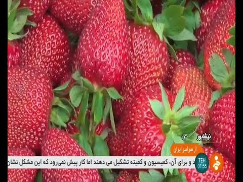 Iran Organic Strawberry greenhouse, Neyshapour county گلخانه توت فرنگي شهرستان نيشاپور ايران