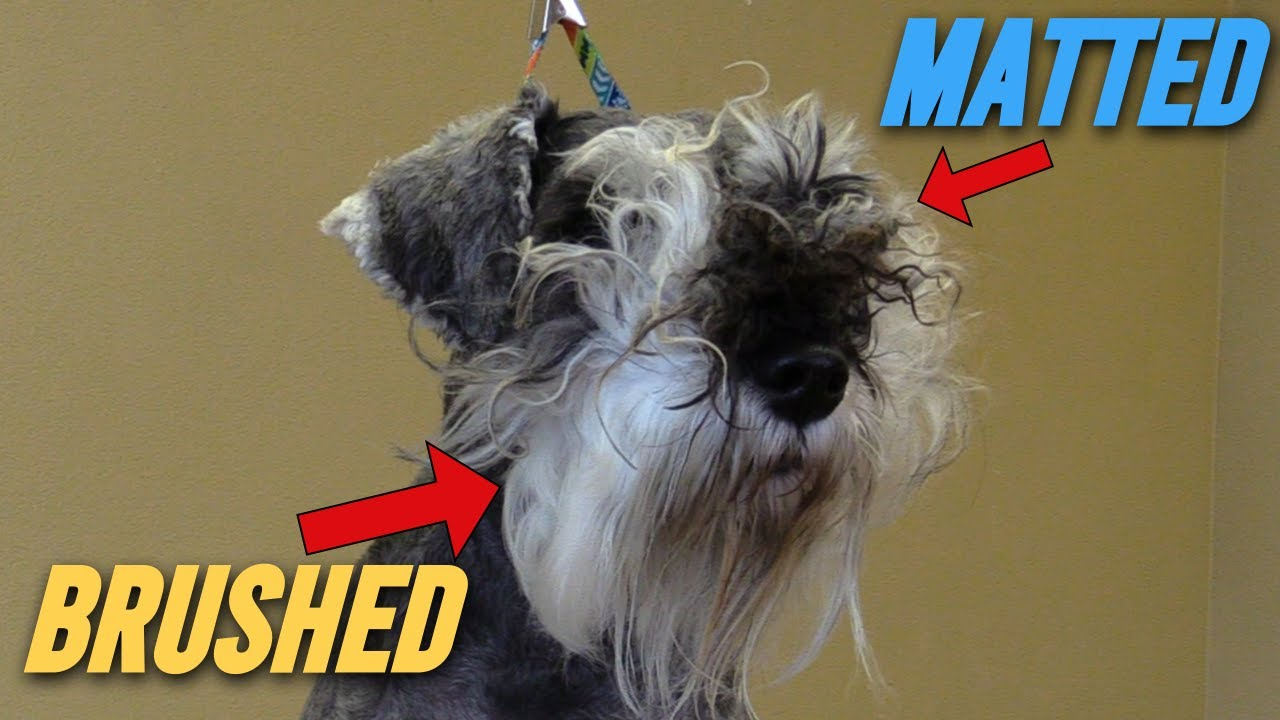 Nitty Gritty Nasty!!! Detailed Face Grooming Schnauzer // Full Version