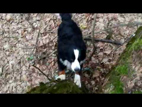 Funny Bernese Mountain Dog trying to climb the Tree