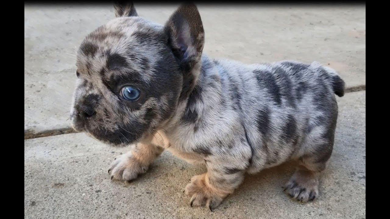 french bulldog boy blue eyes / blue tri merle quad chocolate / blue / merle  / at / 5 weeks old