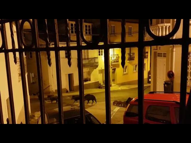 Una piara de jabalíes atraviesa el barrio Ferrolano de A Graña