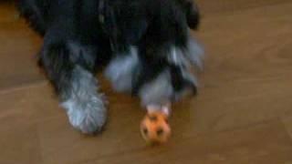 Il Mio Cagnolino Schnauzer Scotty Ke Gioca - My Mini Schnauzer Scotty Playing