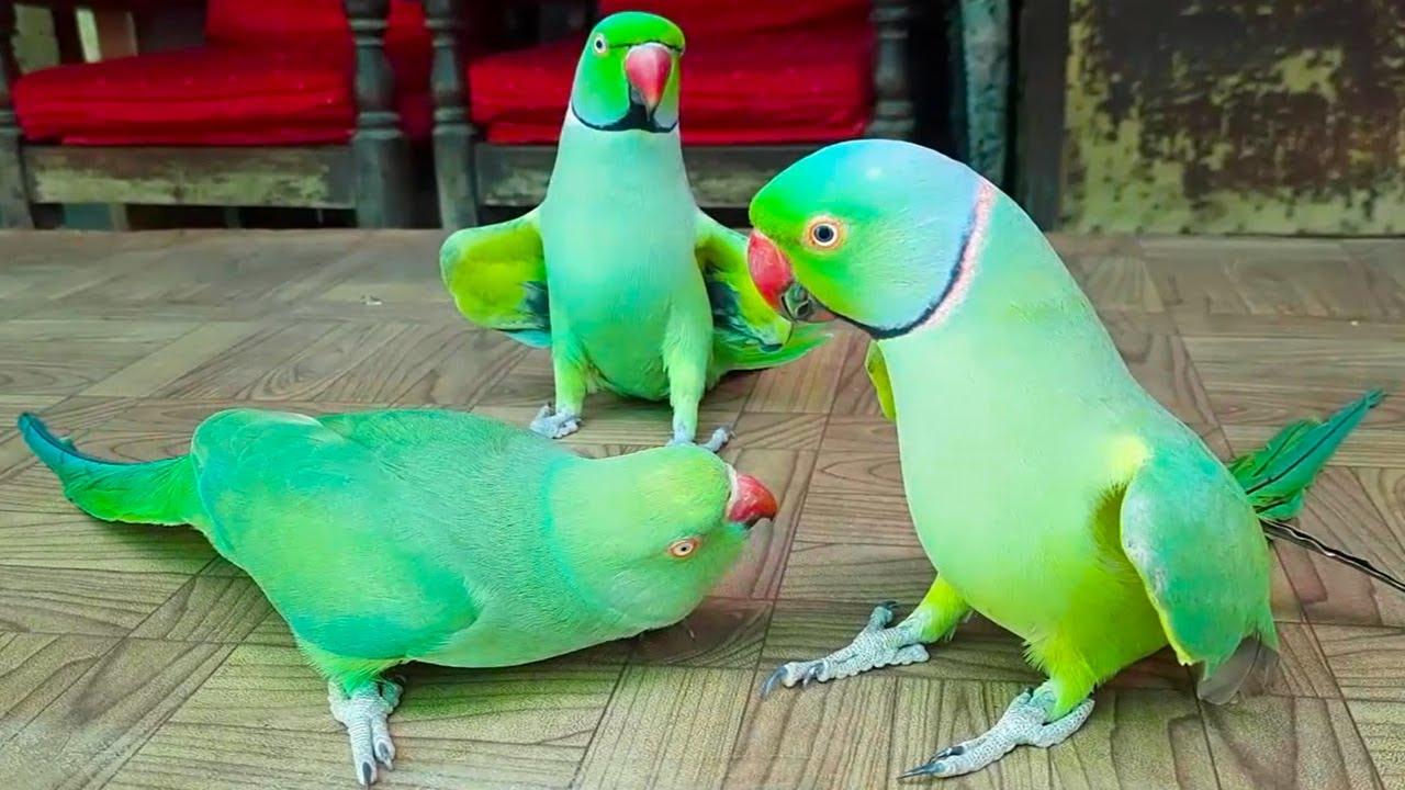 Ringneck Parrots Talking And Having Fun On Table In Urdu Hindi