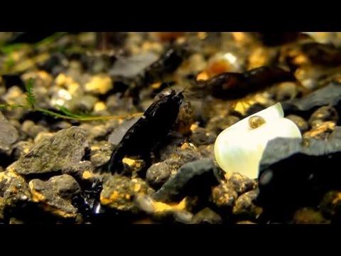 awesome...-black-choco-shrimp,-want-it?-moss-aquascape