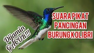 Suara Pikat Masteran Burung Kolibri Raja Mikat Konin Gacor