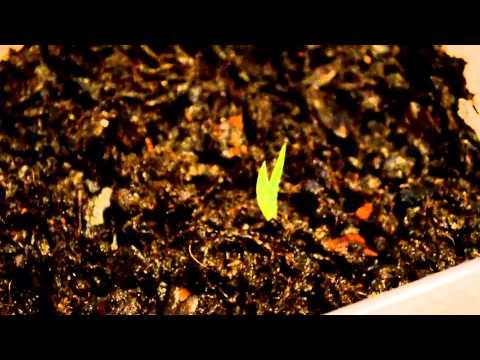 """Обзор семян """"орхидеи"""" из Китая, хронология роста, часть 1"""