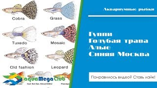 Новинки 13 - Гуппи: Голубая трава, Алые, Синяя Москва (Бразилия)