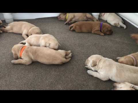 Rugby 2-wk-old British Labrador Puppies