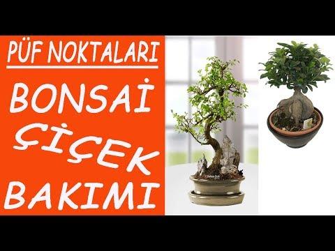 Bonzai (Bonsai) flower care and watering.