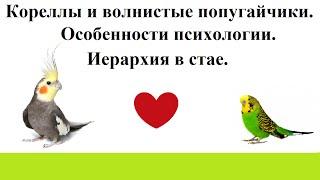 Психологические особенности и иерархия в стае у волнистых попугаев и корелл.