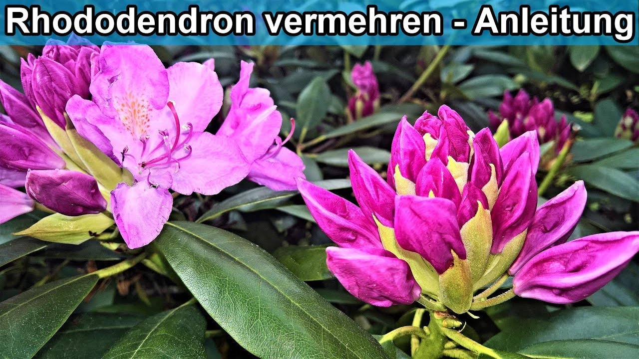 Super Rhododendron durch Absenker vermehren / Rhododendren Ableger AJ42