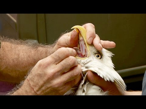 These Game Wardens Are Helping An Injured Bald Eagle | Lone