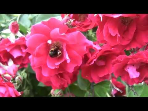 Loud Buzzing Bumblebee Works a Champlain Rose