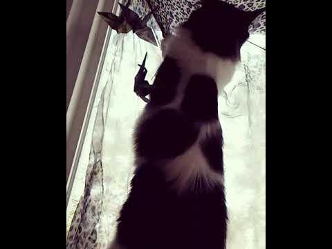 Curtain Climber Purplehaze