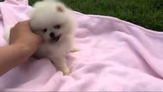 Teacup Puppy Teacup Pomeranian For Sale