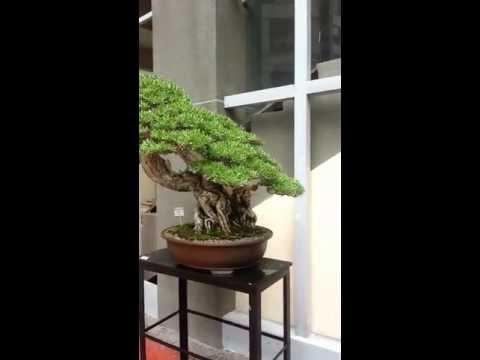 Best Bonsai - Asia-Pacific Bonsai Friendship Federation 2013 - Philippine Bonsai Society  - 4