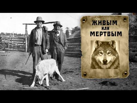 Этот волк был самым опасным преступником животного мира...