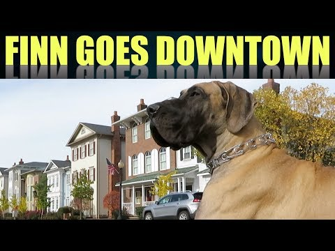 Great Dane Puppy Goes Downtown - FINN THE GREAT DANE