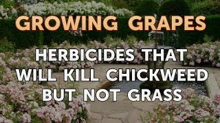 Herbicides That Will Kill Chickweed but Not Grass