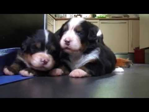 Bernese Mountain Dog puppies, 3 weeks ,  july 2015