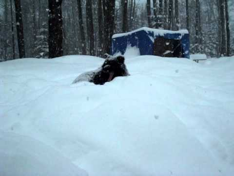 Dog Laying in Snow