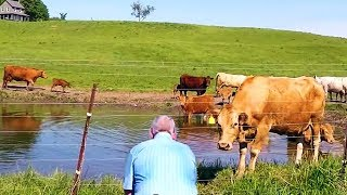 Farmer Watches Herd Of Cows, When Suddenly Realizing 1 Is Desperate To Get His Attention For Help