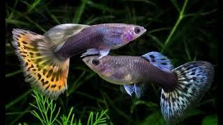 Рыбки гуппи | Содержание | Совместимость | Уход