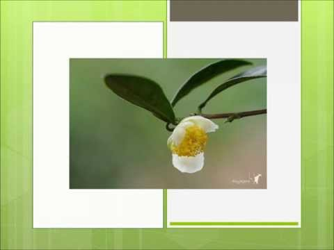 Greatest Green Tea: What to Search For In Great Green Tea Brands from YouTube · High Definition · Duration:  5 minutes 37 seconds  · 24.000+ views · uploaded on 16-6-2012 · uploaded by TheBestGreenTea