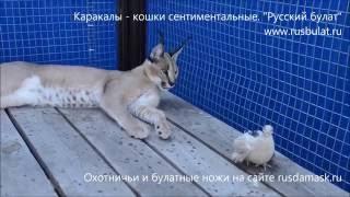 """Каракалы - кошки сентиментальные. Компания """"Русский булат"""""""