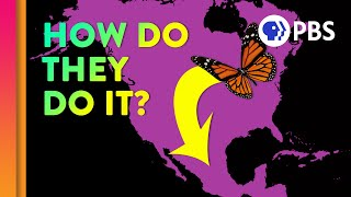 Unraveling the Monarch Butterfly Migration Mystery
